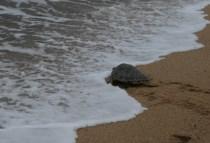 brazilgs_by-tim-kittel-rescued-sea-turtle-release-2011