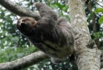 brazilgs_by-tim-kittel-sloth-in-motion