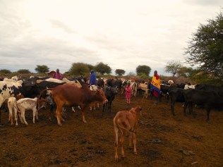 tanzaniags_by-lily-wilkinson-livestock-2014
