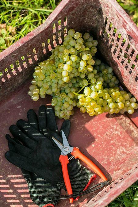 vino-uva-taglio