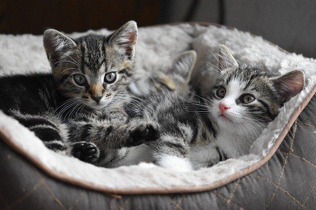 come accogliere un gattino