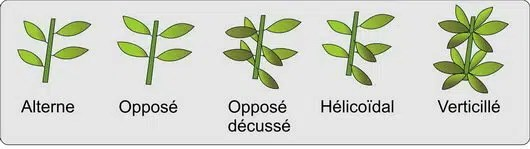 Disposition des feuilles sur la tige: Jardin du Gué.