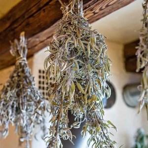 Séchage de plantes médicinales. Cueilleurs Sauvages