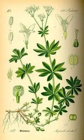 Planche botanique de l'aspérule odorante.