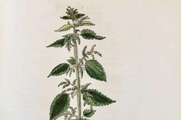 Ortie dioïque de l'herbier de Leonard Fuchs