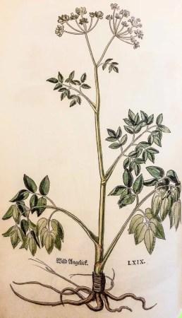 L'angélique sylvestre dans l'herbier de Fuchs de 1543