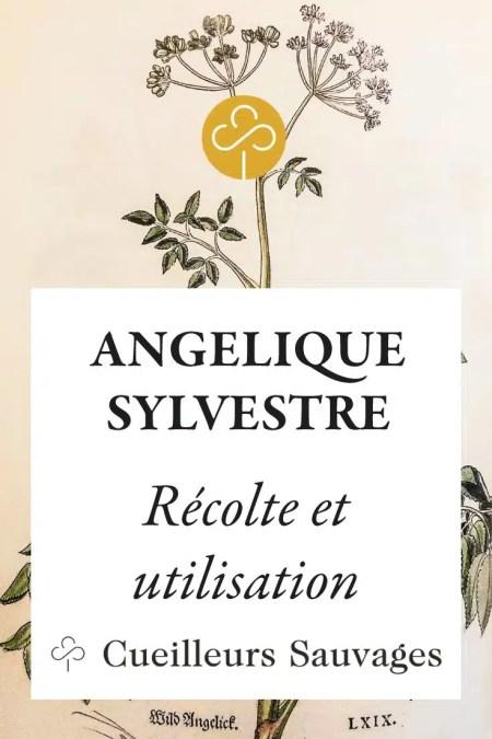 L'angélique des bois est une grande plante majestueuse, à la taille humaine et aux belles fleurs blanches qui lui donnent l'allure d'un ange couronné. Cueilleurs Sauvages.