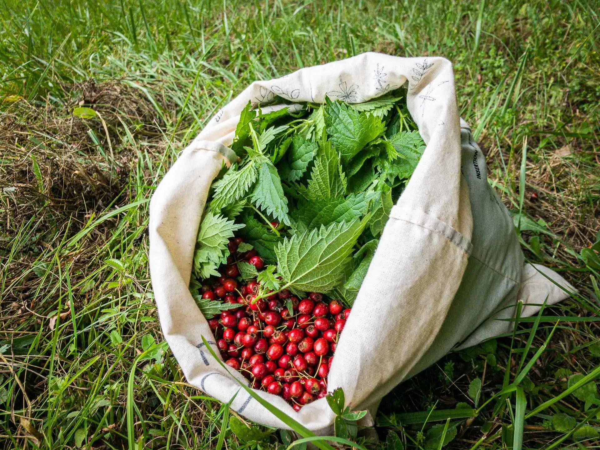 Récolte d'aubépine et d'ortie