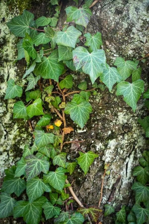 Le lierre grimpant est facile à reconnaître avec ses feuilles triangulaires vert-foncé. Cueilleurs Sauvages.