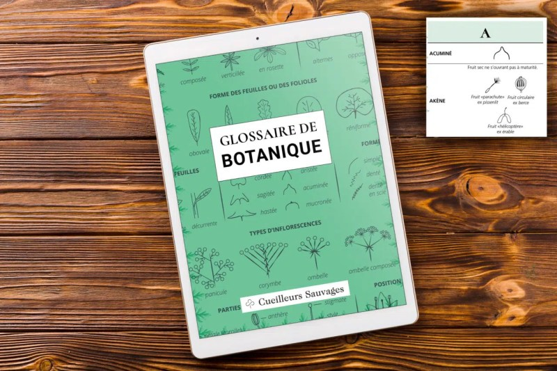 Glossaire de botanique de Cueilleurs Sauvages
