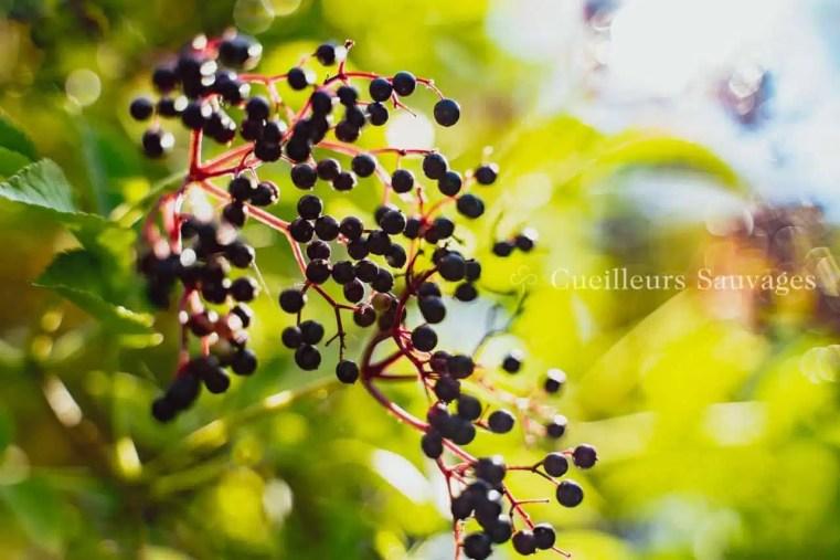 Baies de sureau noir (Sambucus nigra).