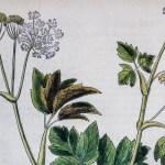 "Featured image for ""Impératoire (Peucedanum ostruthium): histoire, cueillette et cuisine"""