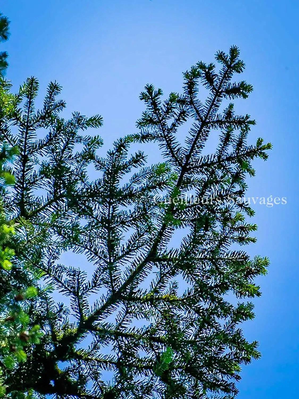 Abies alba - Sapin blanc - Rameaux