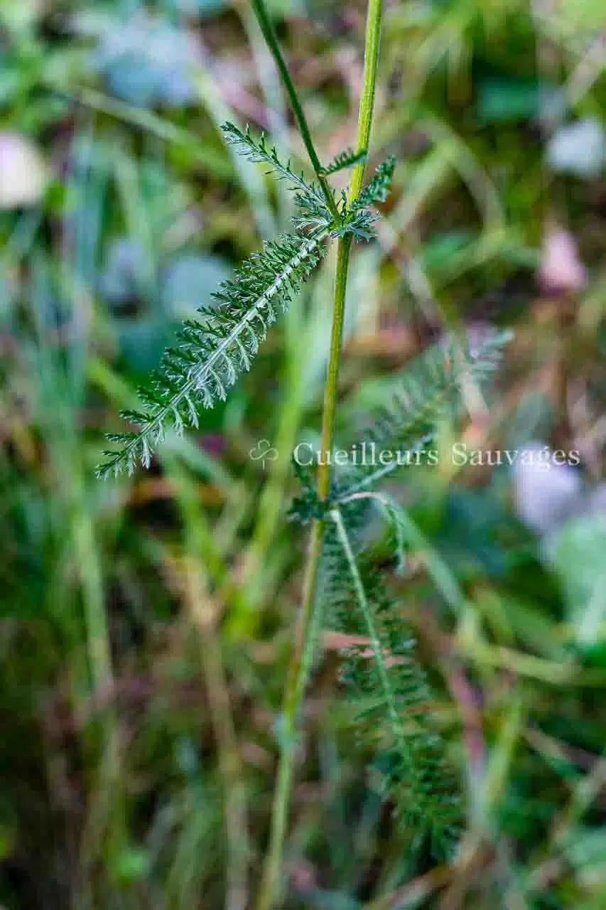 Achillea millefolium - Achillée millefeuille-feuille-2 - Cueilleurs Sauvages