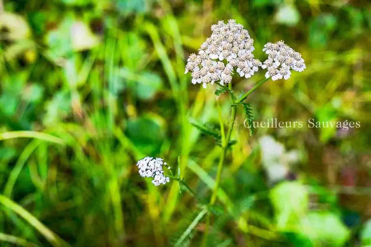 Achillea millefolium - Achillée millefeuille-fleurs - Cueilleurs Sauvages