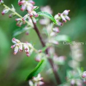 Artemisia vulgaris - Armoise commune - fleurs - Cueilleurs Sauvages