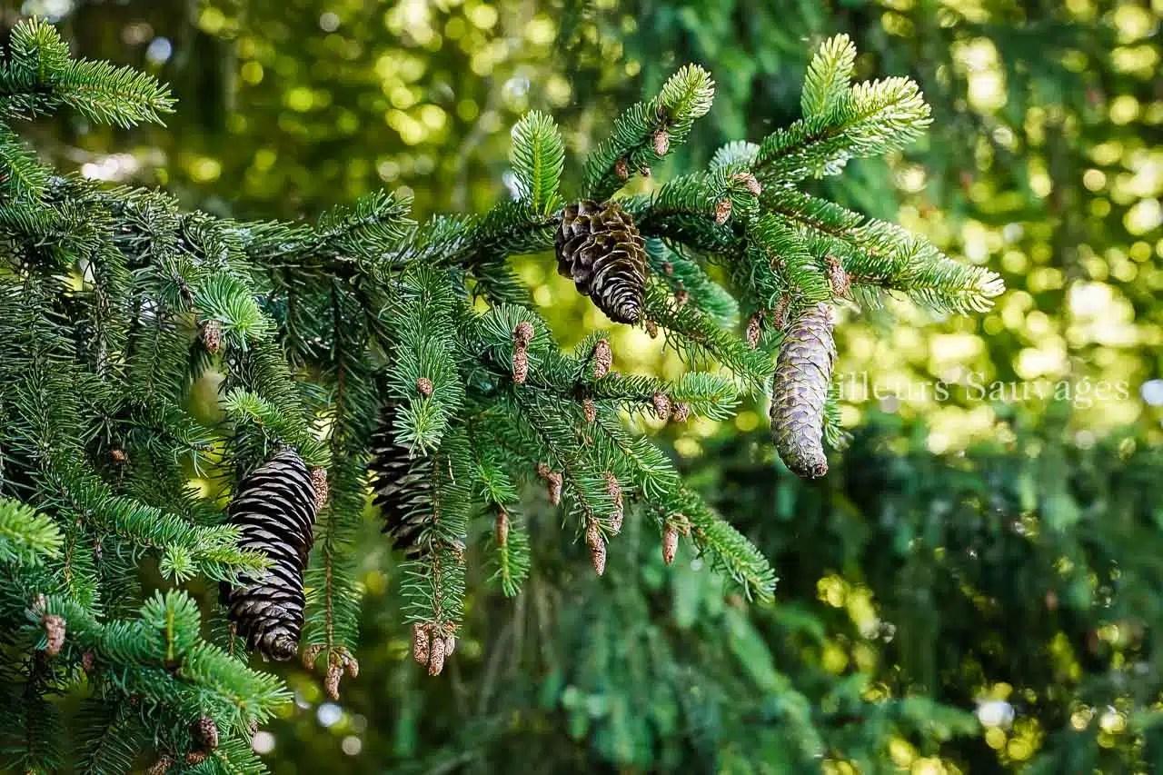 Picea abes - Epicéa commun - cones