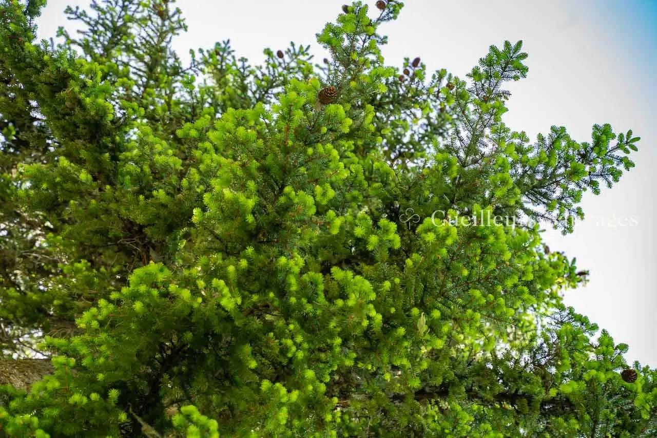 Picea abes - Epicéa commun - rameaux