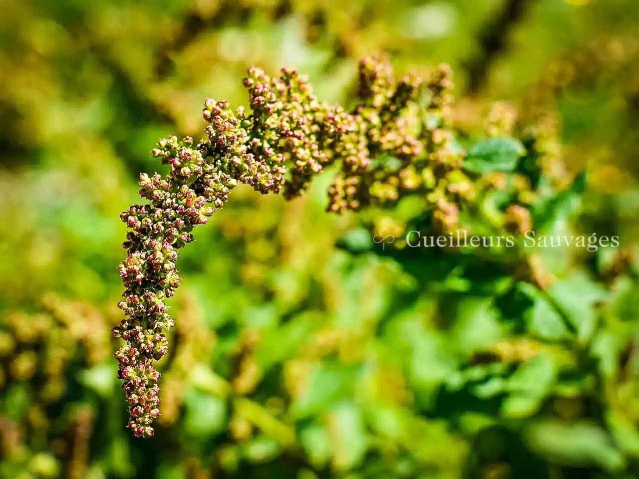 Chenopodium bonus-henricus - Chenopode Bon-Henri