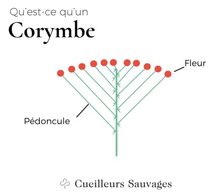 Corymbe. Cueilleurs Sauvages.