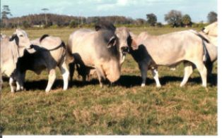 Brahman cattle on the V8 ranch in Texas.