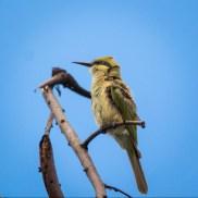 Green bee-eater (Merops orientalis) Credit: Lakshya Dabas