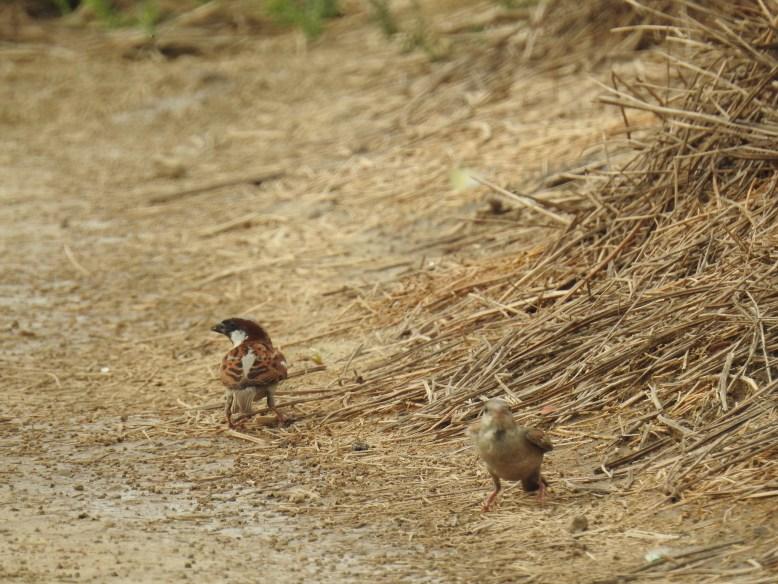 Passer_domesticus_House_sparrow_AUD_Dheerpur_AK