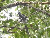 Grey Hornbill at Lodhi Campus (Credit: Fizala Tayebulla)