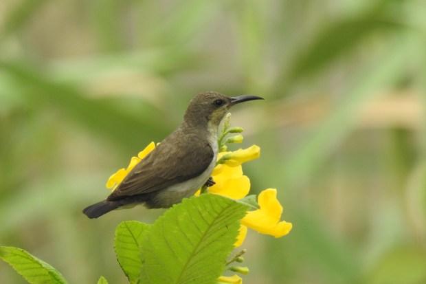 Cinnyris asiaticus_Purple Sunbird__female_DWP_AK_110418_1