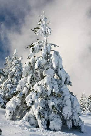 pino nevado gudar