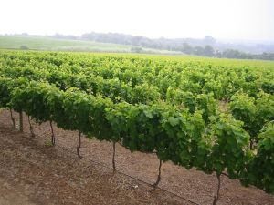 Groot_Contstantia_vineyard_