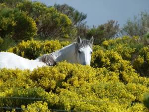 El caballo bllanco