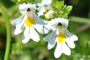 1357762631_Euphrasia-Officinalis