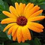 Caléndula, es una planta medicinal ¿para qué sirve?