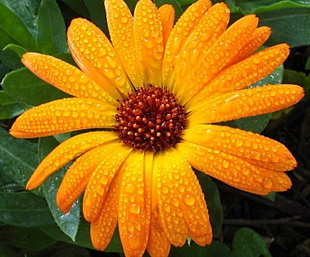 Caléndula es una planta medicinal