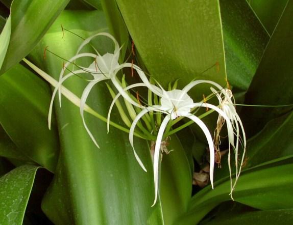 Orquídeas in vitro
