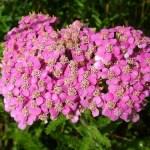 Milenrama, planta medicinal y sus propiedades