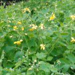Propiedades de la Celidonia como planta medicinal y verruguera