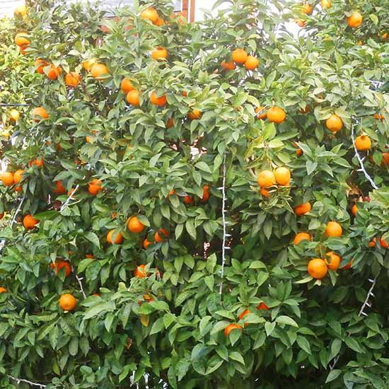 naranjos suben tus defensas