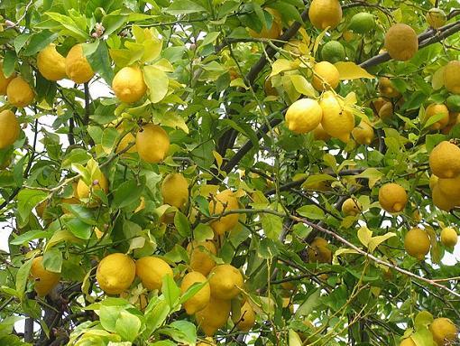 arbol-de-limon