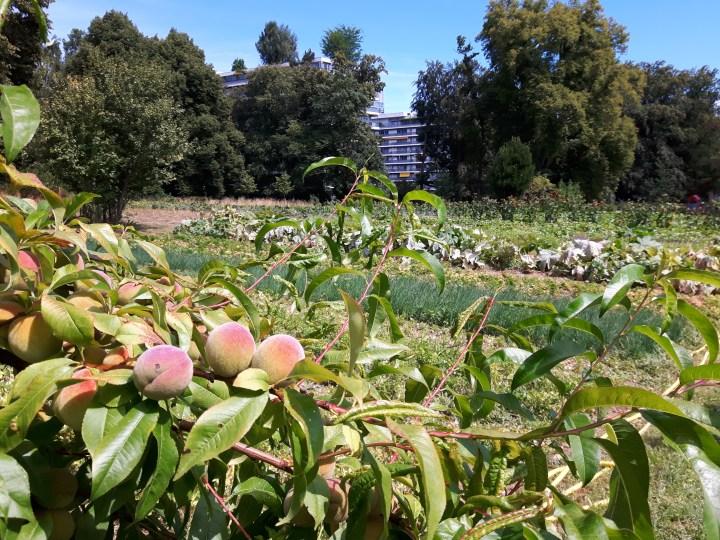 peach trees 4597x3413.27