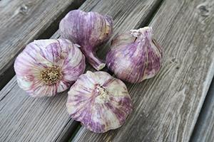 4 têtes d'ail violet cru