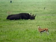 Tanzania Ngorongoro Crater Black Rhino And Thomson's Gazelles