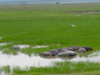 Tanzania Ngorongoro Crater– Hippos