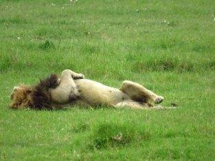 Tanzania Ngorongoro Crater Male Lion