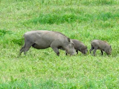 Tanzania Ngorongoro Crater Warthog Family