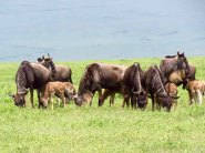 Tanzania Ngorongoro Crater– Wildebeest Families