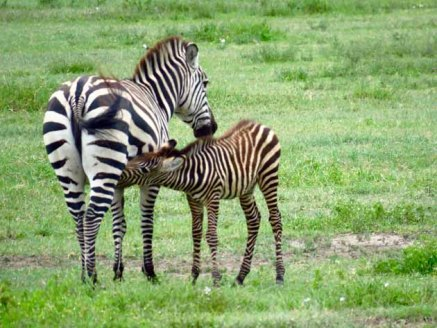 Tanzania Ngorongoro Crater–Zebra Foal Nursing2