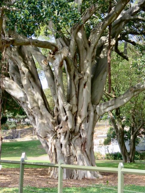 Beautiful Moreton Bay Fig Tree with intricately twisted trunks, Sydney Botanical Gardens