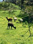 Waiheke Island–Alpacas